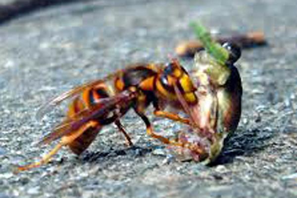NAVER まとめ【凶暴 ハチ】スズメバチ 画像まとめ