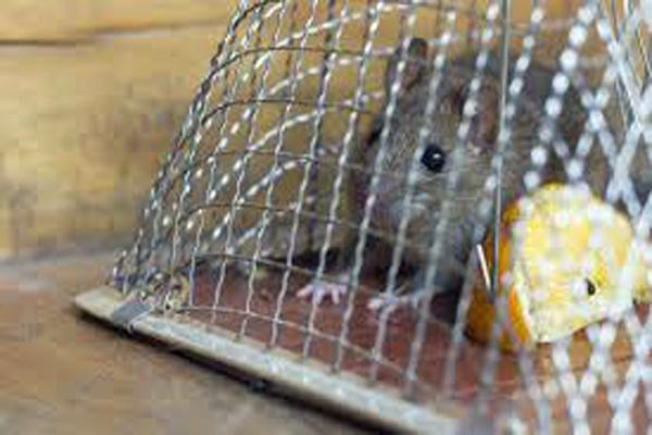 クマネズミの画像 p1_28