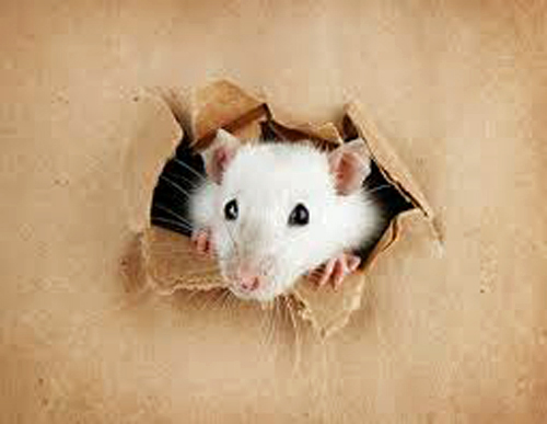 ネズミ 19