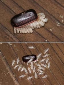 ゴキブリ卵