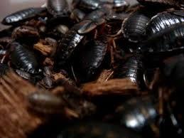 ゴキブリ群居性