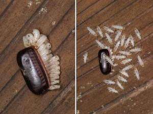 ゴキブリ孵化jpg