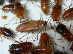 エサを食べるゴキブリ