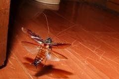 飛ぶゴキブリ