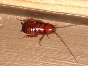 クロゴキ幼虫
