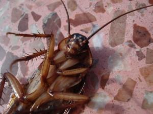 ゴキブリ裏向き