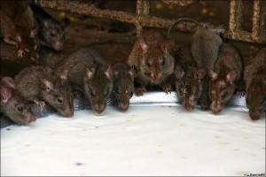 ネズミがいっぱい