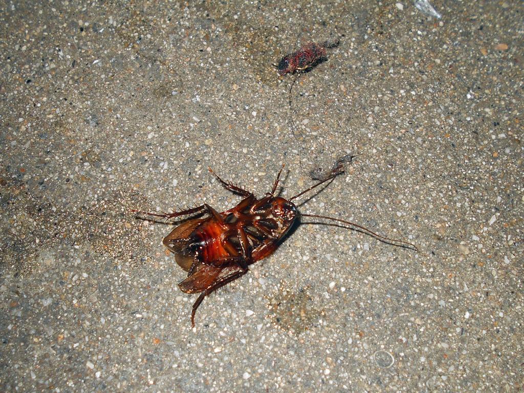 ゴキブリの卵画像